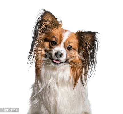 Papillon Dog , 2 years old, against white background