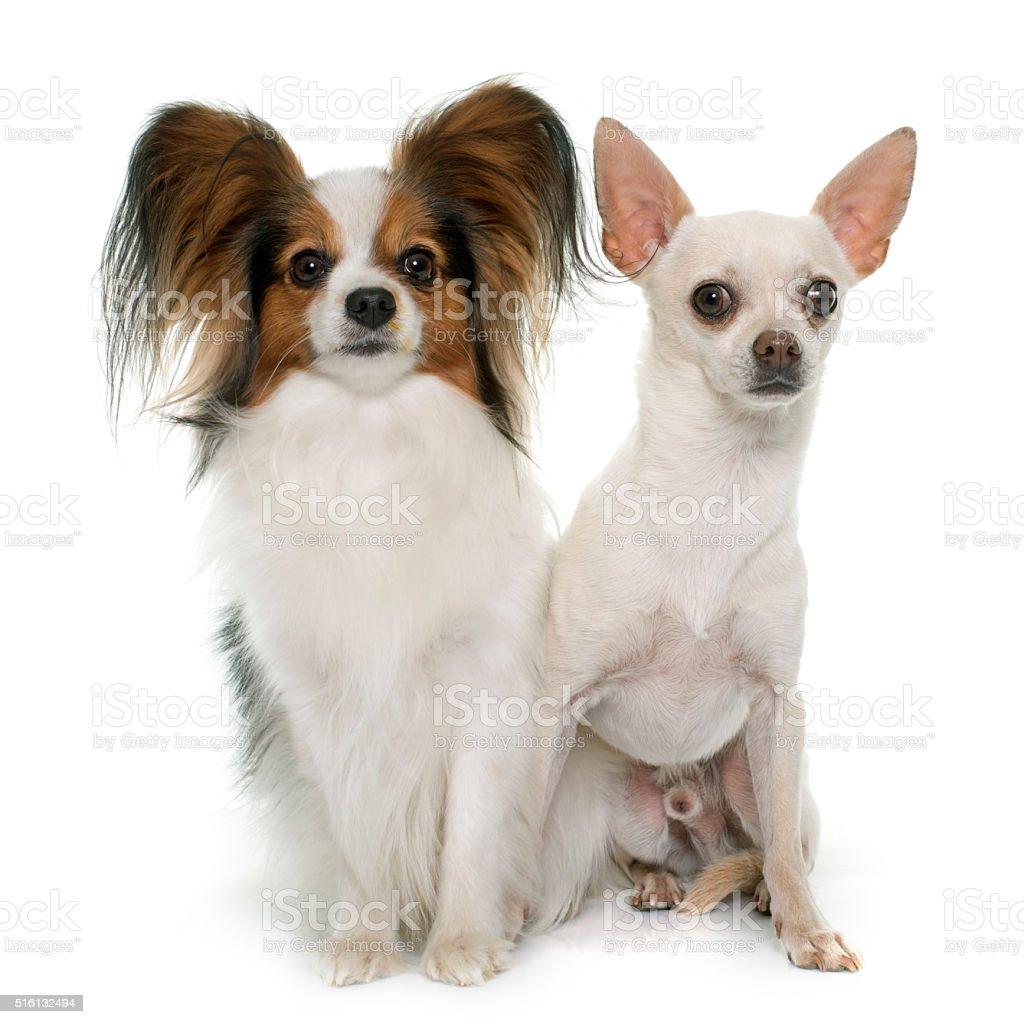 Papillon Cane E Chihuahua - Fotografie stock e altre immagini di Adulto -  iStock