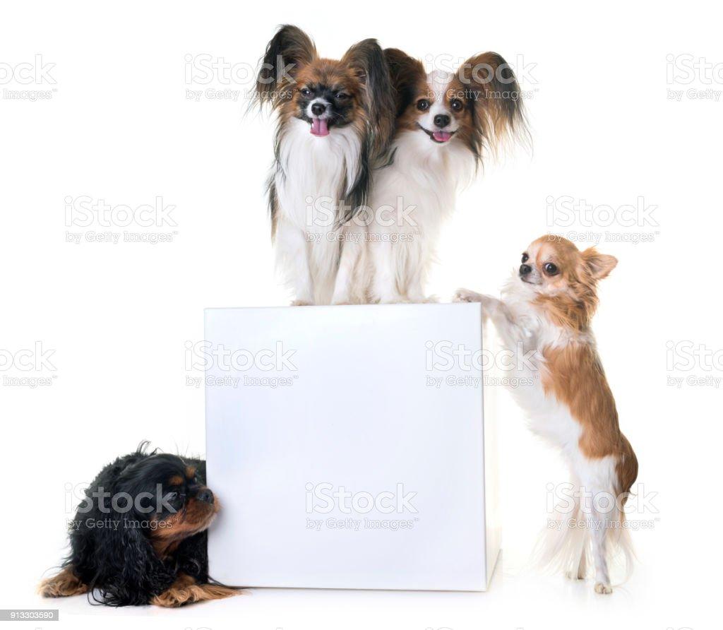 papillon dog and chihuahua stock photo