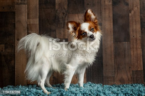 Papillon dog standing pose with a cute head tilt on a dark wood background on a blue blanket.