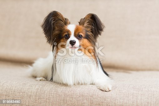 Papillon dog lying on the couch stretching his paws