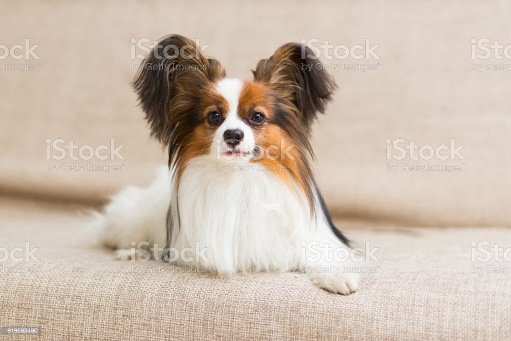 Papillon dog lying on the couch stretching his paws stock photo