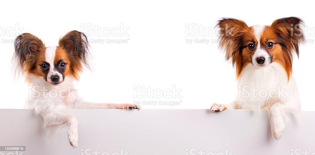 Papillon Dog royalty-free stock photo