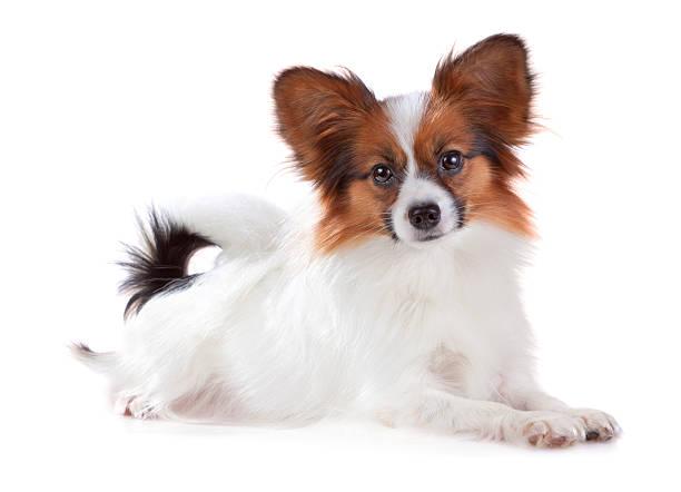 Papillon dog stock photo