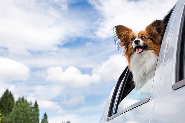 Papillon dog traveling in car stock photo