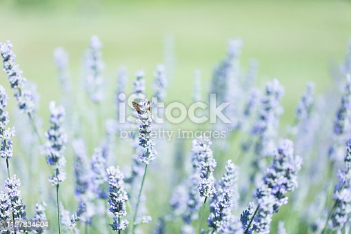 Fond verdoyant de lavande provençale et papillon de printemps
