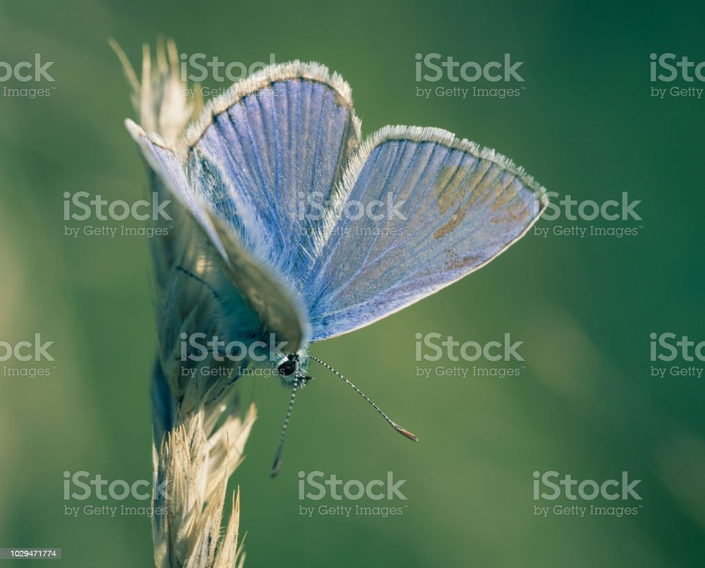papillon leur seul azuré bleu de profil en vue carré en gros plan en été sur fonds vert posé sur un brin d'herbe - Photo