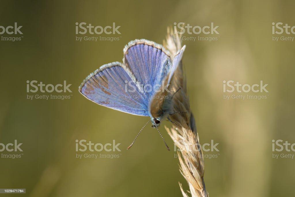 papillon leur seul azuré bleu de profil en vue verticale en gros plan fonds de sur en été vert et jaune posé sur un brin herbe - Photo