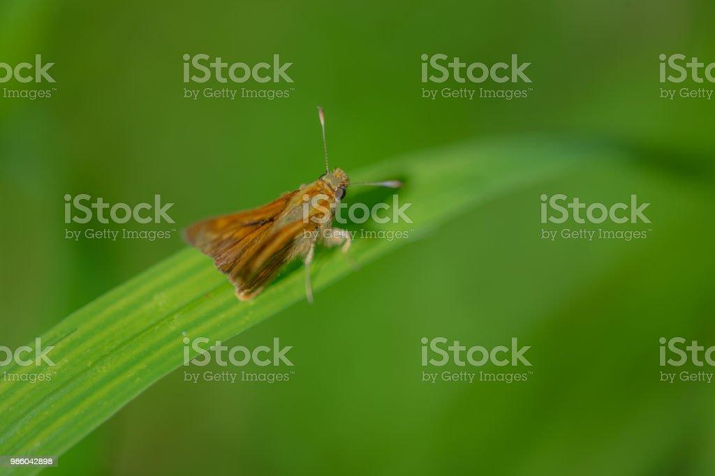 papillon marron posé sur un brin d'herbe sur sinople un fond vert en plan rapproché - Photo