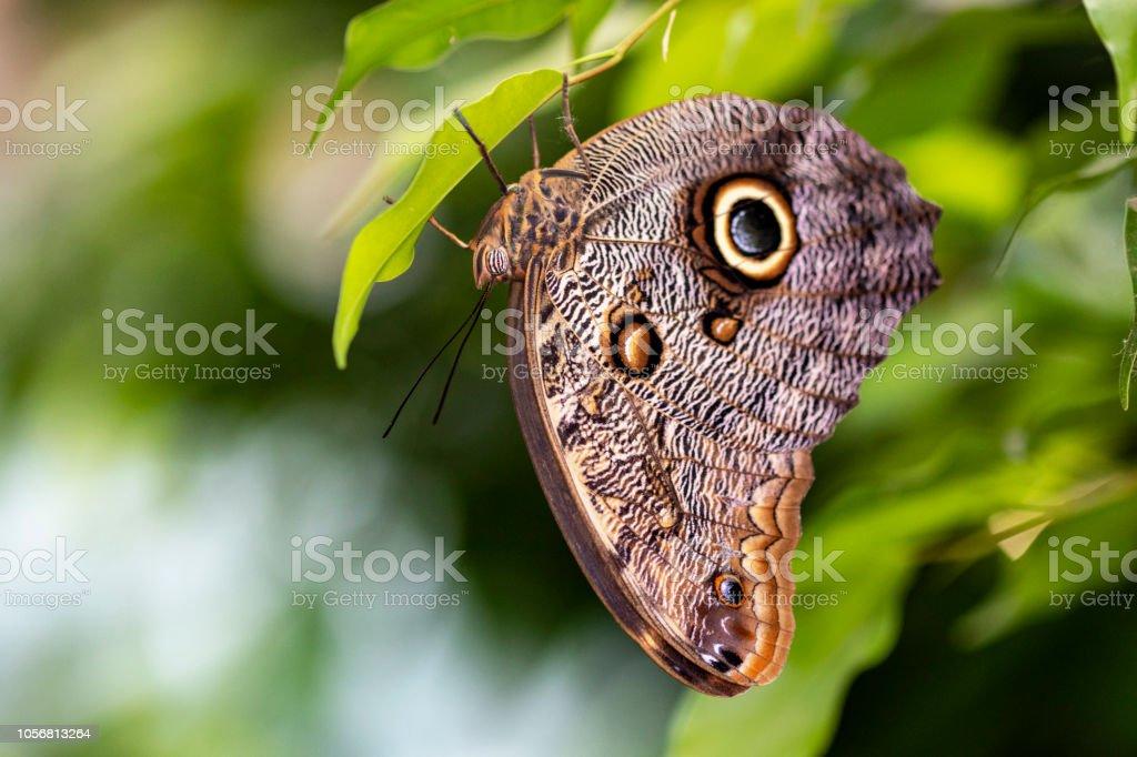 Bộ sưu tập cánh vẩy 6 - Page 2 Papillon-morpho-caligo-martiasur-une-feuille-picture-id1056813264