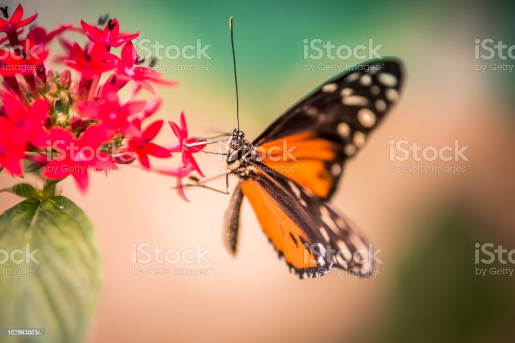 Papillon Orange Blanc Et Noir Sur Une Fleur Rouge Seul Sur Fonds