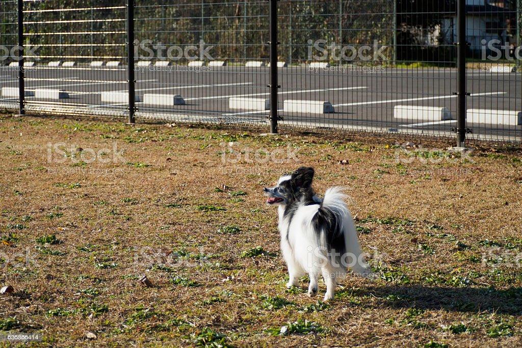 Papillon playing with dog run ストックフォト
