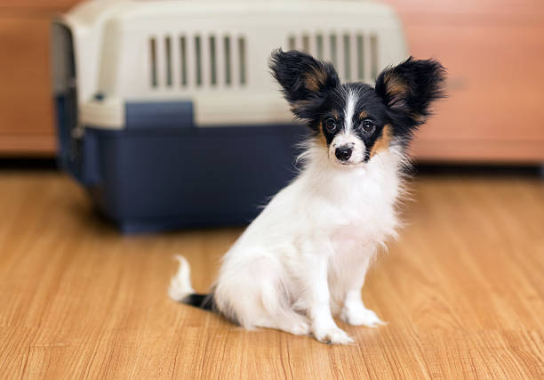 Papillon puppy and travel plastic carrier for pet stock photo