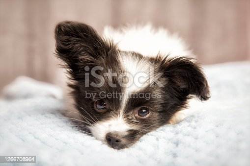 A cute Papillon puppy 8 weeks old, sleeping.