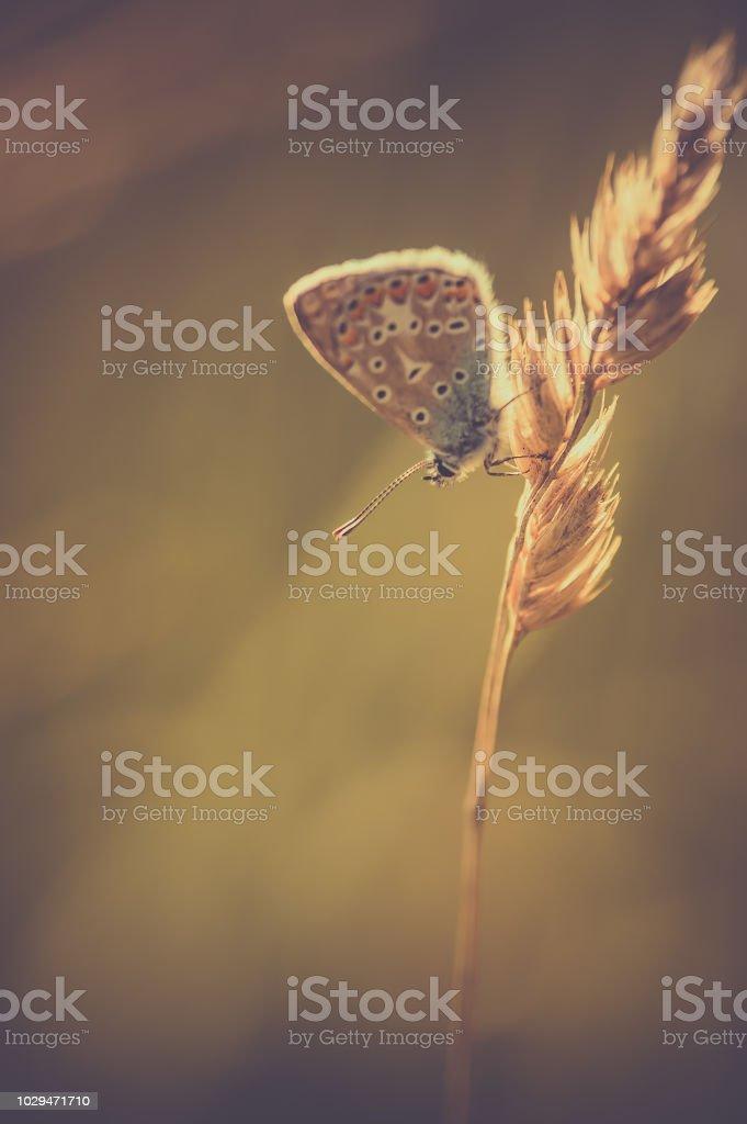 papillon seul azuré bleu posé sur un brin d'herbe vu de profil en vue verticale en lumière naturelle - Photo