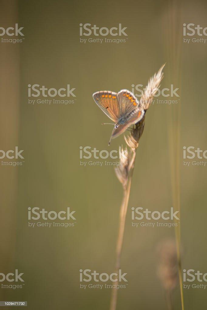 papillon seul azuré posé sur un brin d'herbe vu de profil en vue verticale en lumière naturelle le soir - Photo