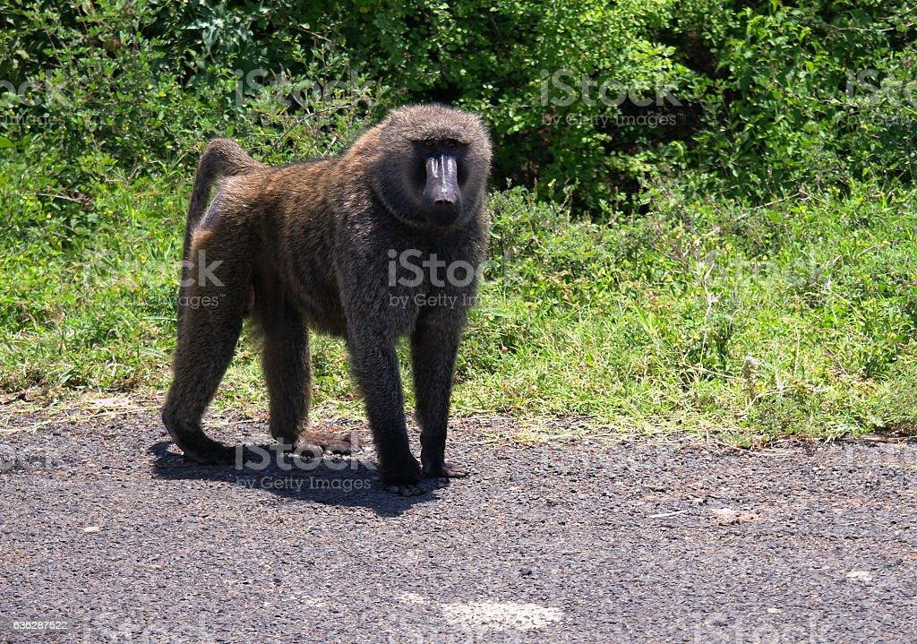 Papio anubis aka olive baboon in Nechisar National Park Ethiopia stock photo