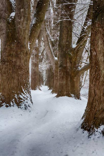 Pappel Allee in Regensburg, Deutschland, im Winter Pappelallee regensburg, Deutschland, im Schnee fluchtpunktperspektive stock pictures, royalty-free photos & images