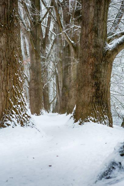 Pappelallee regensburg, Deutschland, im Schnee Pappelallee regensburg, Deutschland, im Schnee fluchtpunktperspektive stock pictures, royalty-free photos & images