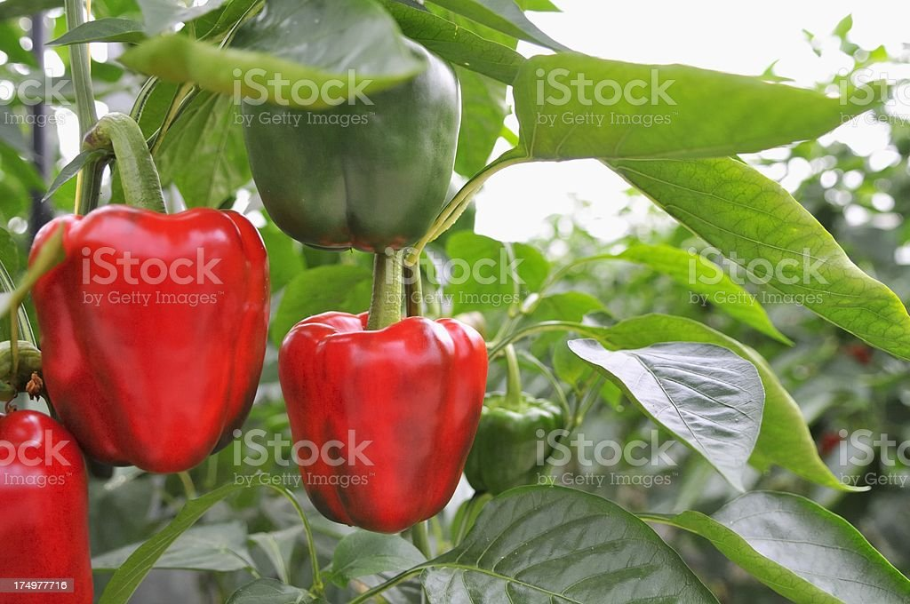 Paprika Greenhouse stock photo