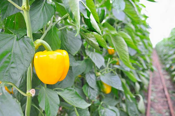 Paprika Greenhouse Yellow bell peppers growing in a greenhouse. yellow bell pepper stock pictures, royalty-free photos & images