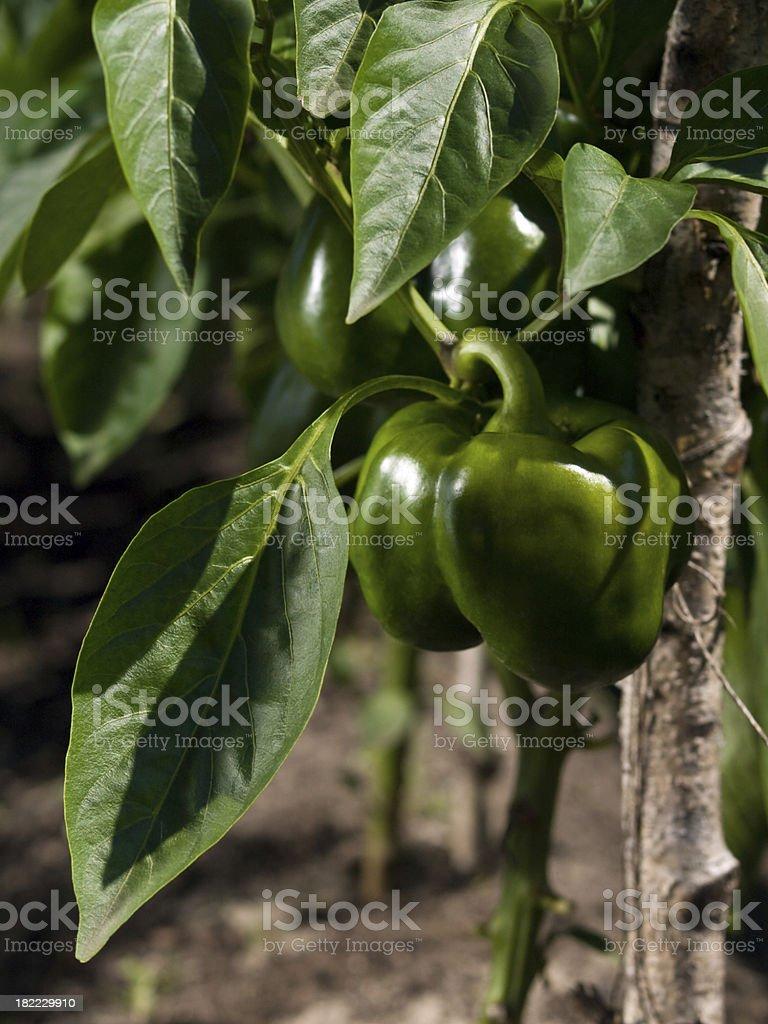 paprika plant royalty-free stock photo