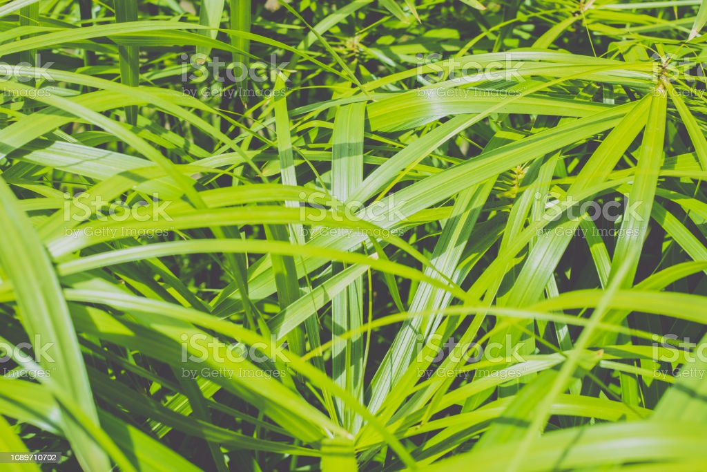 papyrus plant leaves stock photo