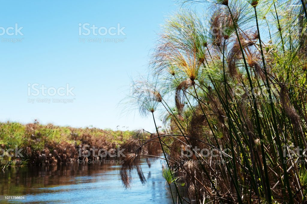 Papyrus reed in the Xigera Concession of Botswana stock photo