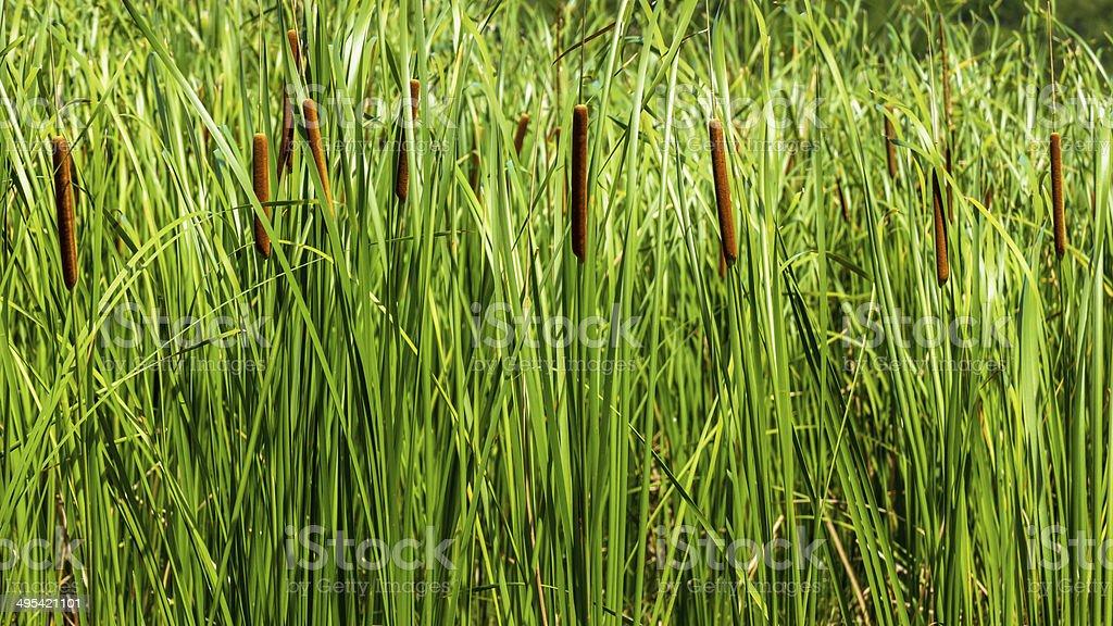Papyrus tree stock photo