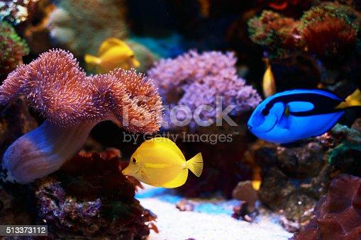 Yellow Tangs and Blue Tang Fish Tropical Fish