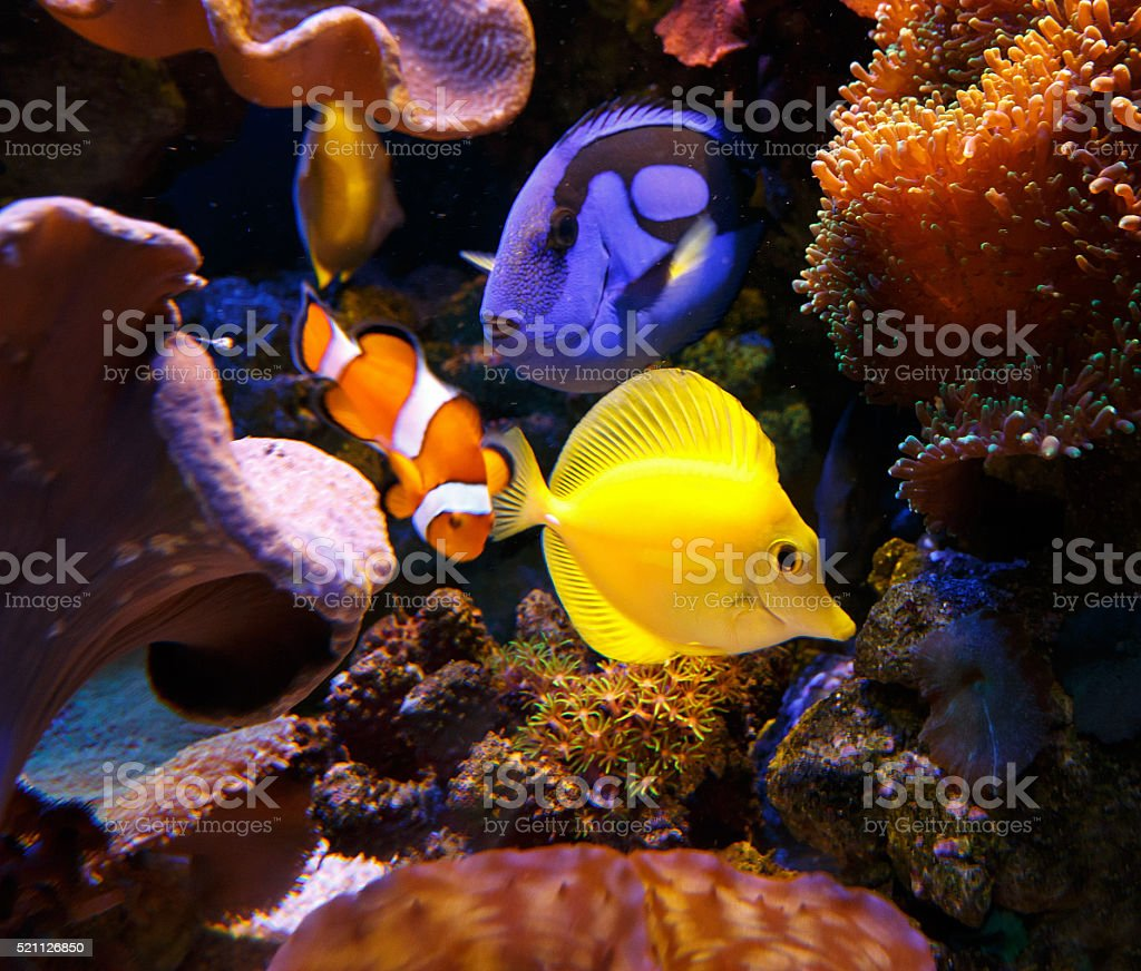 Paracanthurus hepatus and zebrasoma flavescens with Clownfish stock photo