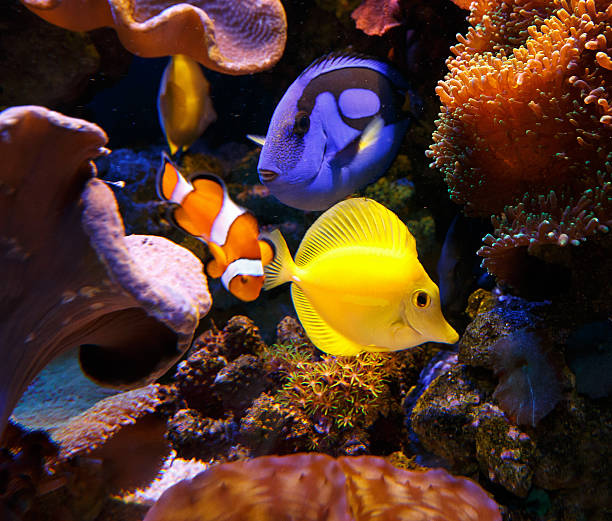 Paracanthurus hepatus and zebrasoma flavescens with Clownfish Paracanthurus hepatus and zebrasoma flavescens with Clownfish anemonefish stock pictures, royalty-free photos & images
