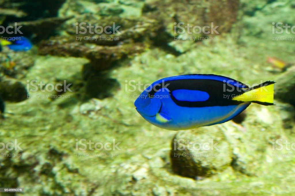 Paracanthurus hepatus - Pesce chirurgo blu - foto stock