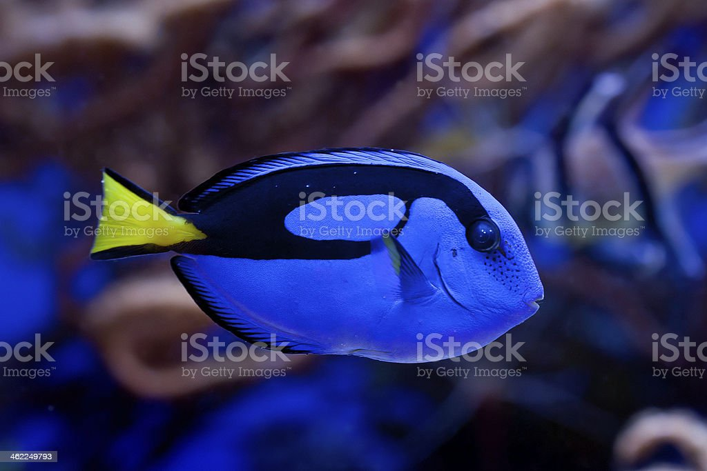 Paracanthurus hepatus stock photo