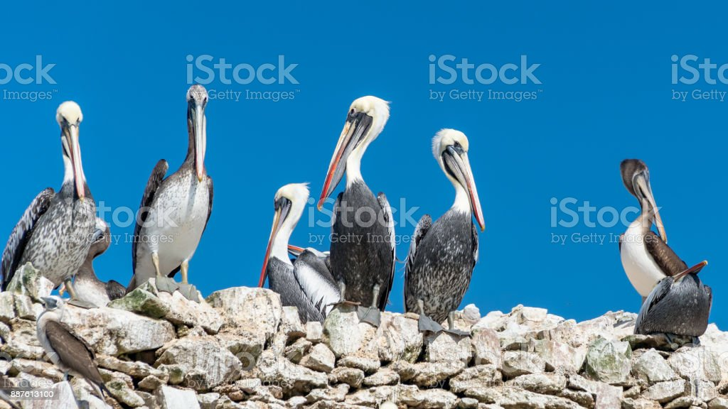 Paracas National Park in Peru with pelicans. Ica, Peru stock photo