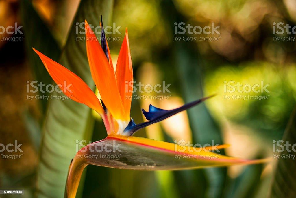 paradise flower stock photo