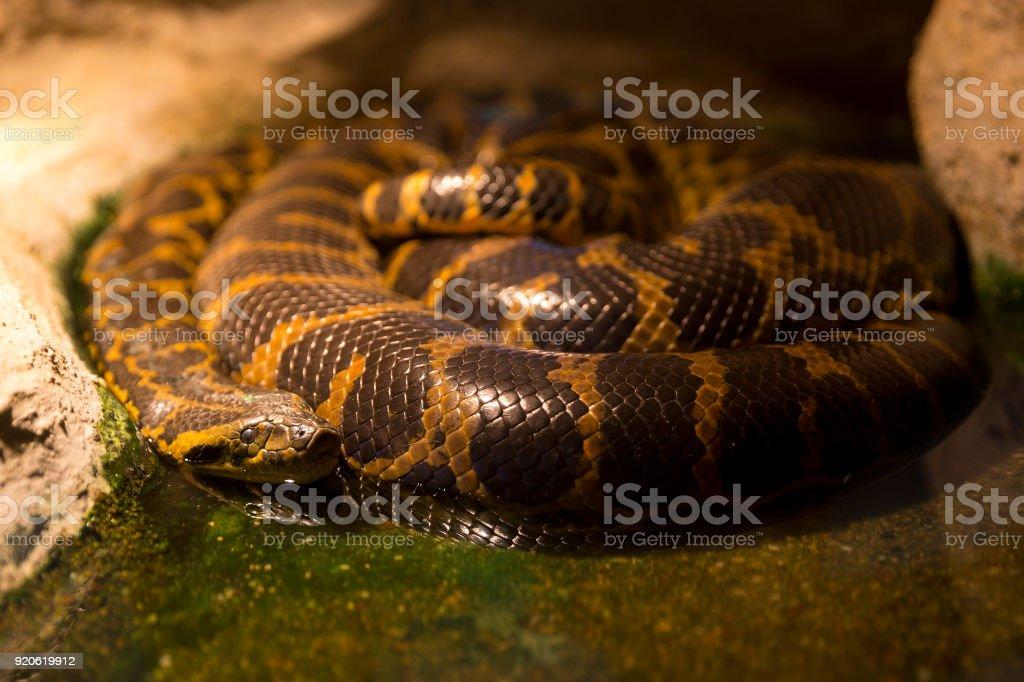 Paraguayan anaconda sleeping stock photo