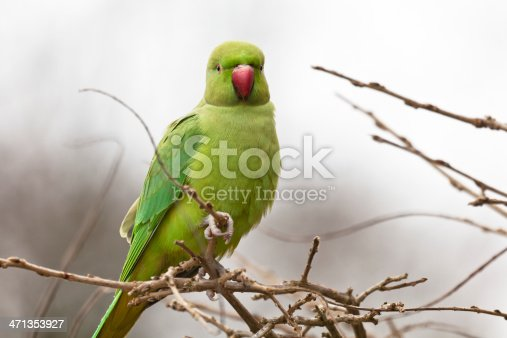 Close-up of a ring-necked parakeet, selective focus - for more birds  click here