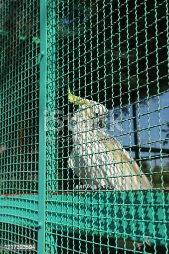 parakeet, popinjay or cockatoo or parrot in the cage
