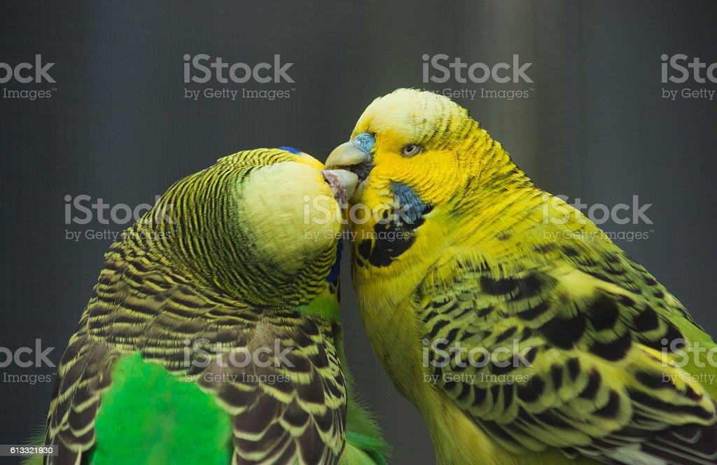 Parakeet/Budgies 'Kissing' stock photo