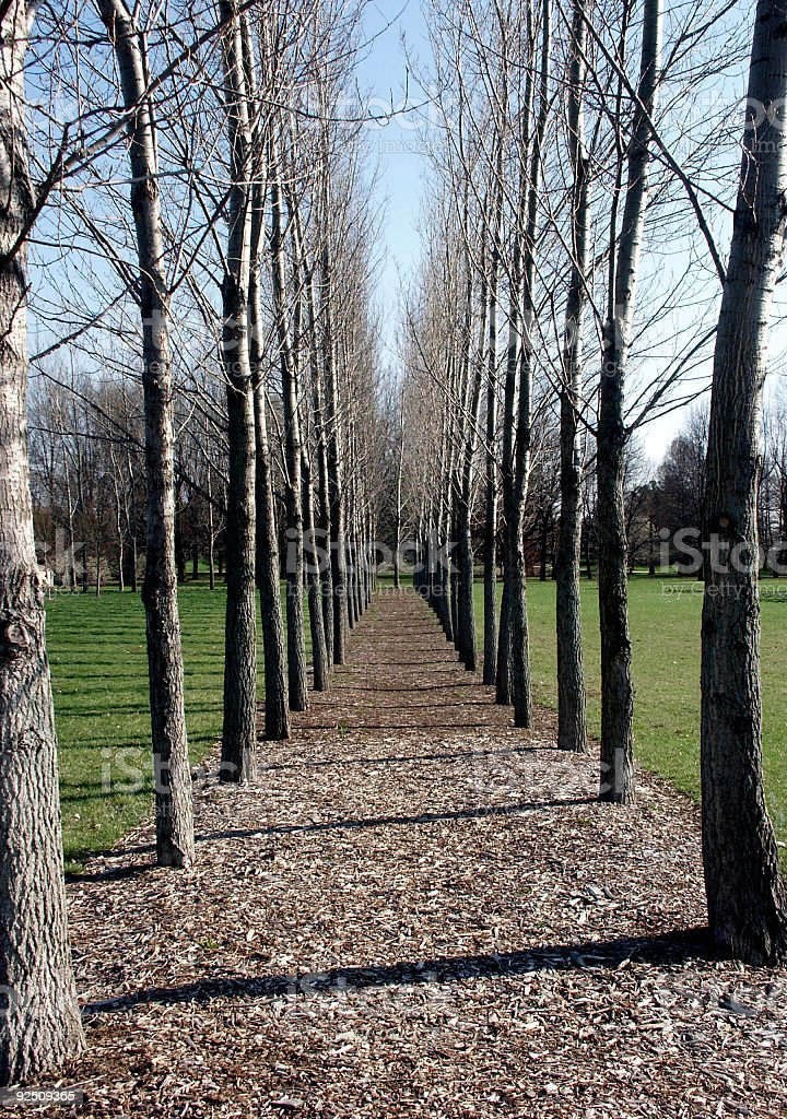 Parallel Trees royalty-free stock photo