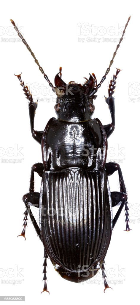 Parallel-sided Ground Beetle on white Background  -  Abax parallelepipedus (Piller and Mitterpacher, 1783) foto de stock royalty-free