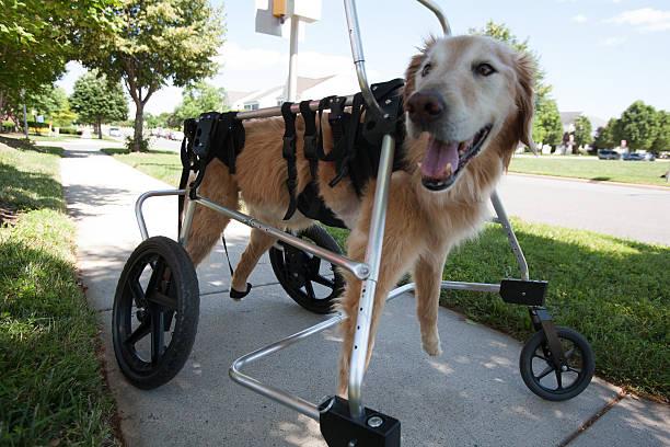 paralyzed golden retriever on dog wheelchair - foto's van hands stockfoto's en -beelden