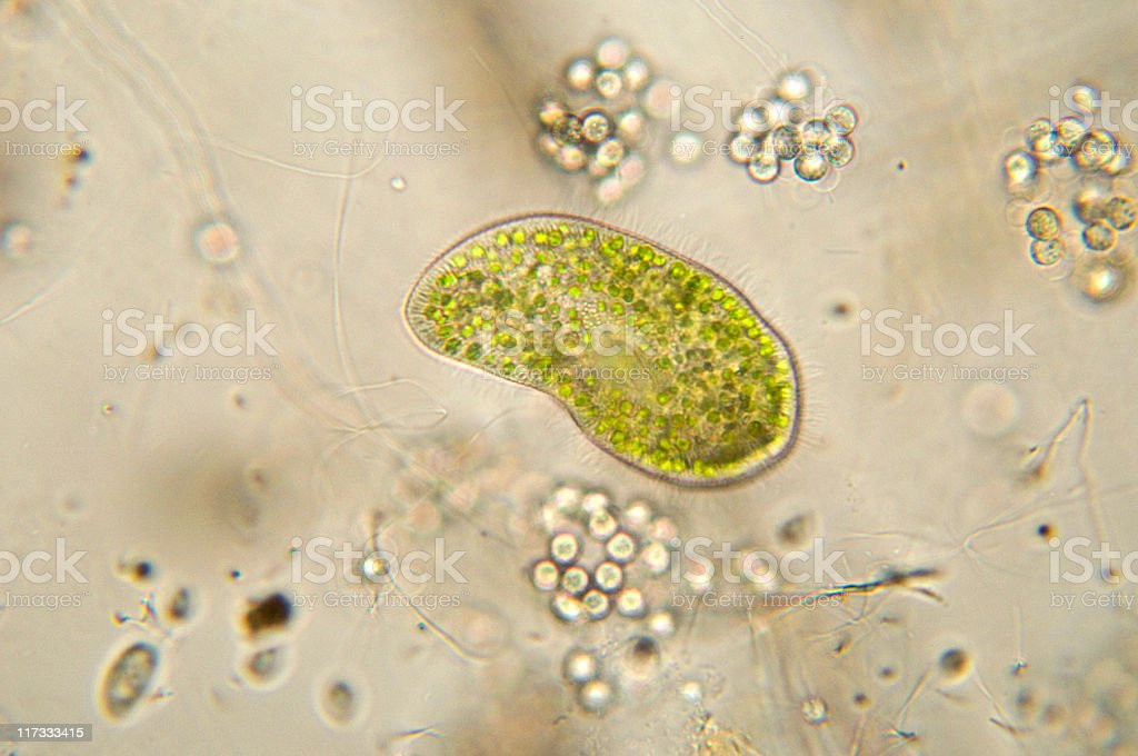 Paramecium bursaria micrograph stock photo