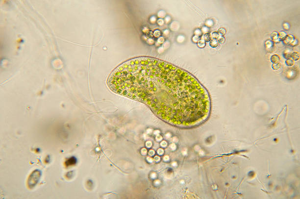Paramecium bursaria micrograph stock photo