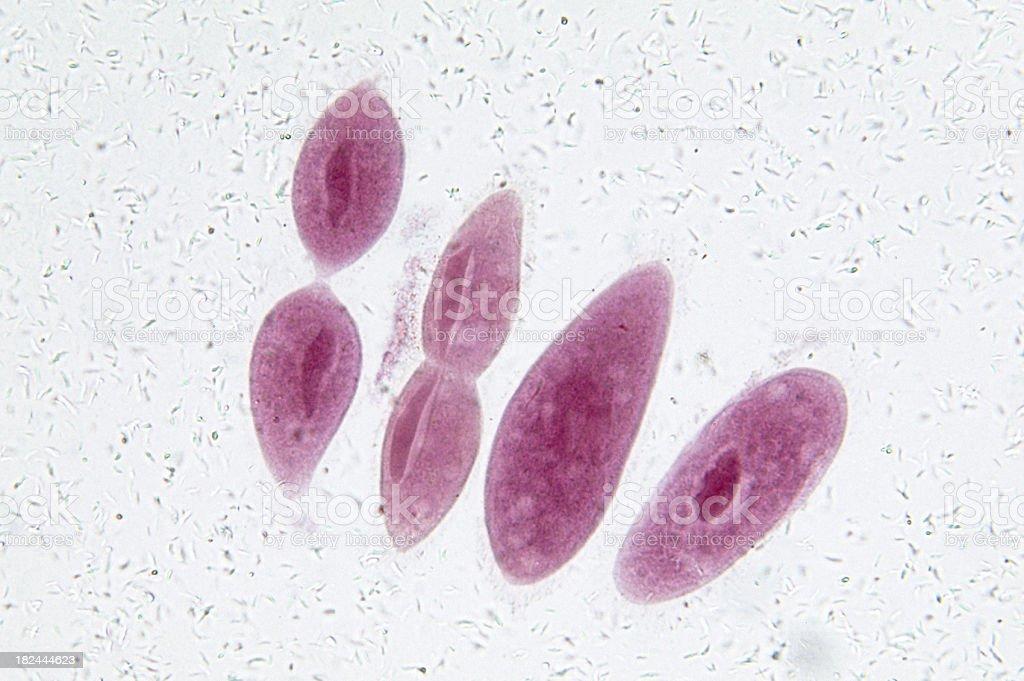 Paramecium in Fission stock photo