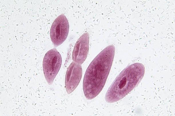 Paramecium in Fission