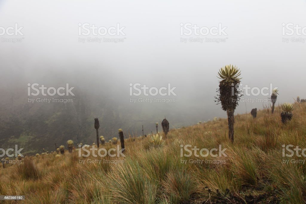 Paramo field in Los Nevados Park, Colombia royalty-free stock photo