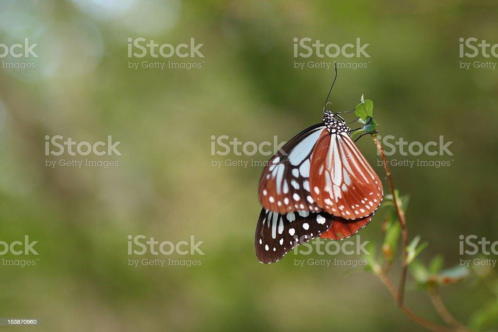 Parantica sita(Chestnut tiger) royalty-free stock photo