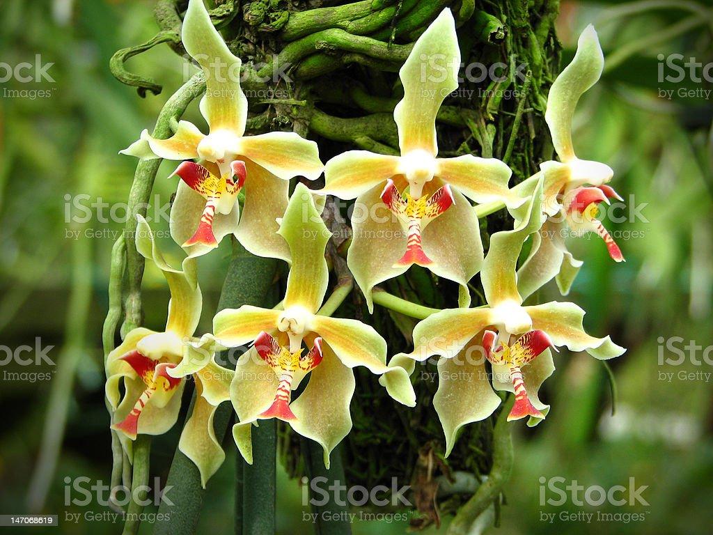 Paraphalaenopsis denevei royalty-free stock photo
